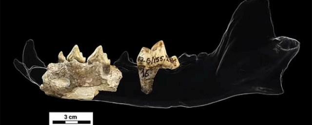 Ученые нашли в Грузии окаменелость охотничьей собаки возрастом 1,8 млн лет