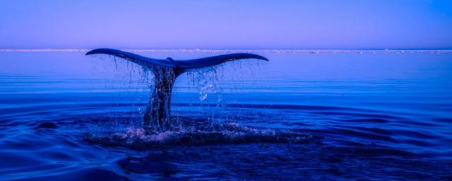 В США аквалангист выжил после того, как его проглотил кит