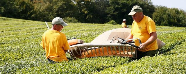 На Кубани с начала 2019 года произвели 2,5 тысячи тонн чая