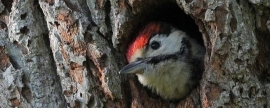 Red-book woodpeckers will be recalculated in Polezhaevsky park