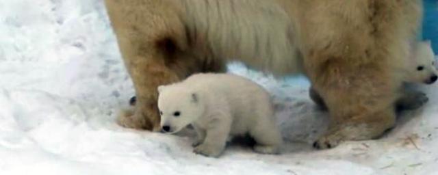 Белые медвежата стали выходить на прогулки в новосибирском зоопарке