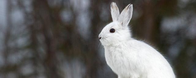 В Москве хозяином леса в 2021 году назвали зайца