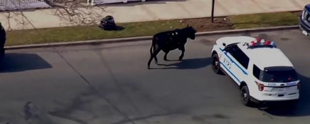 В Нью-Йорке полиция устроила погоню за сбежавшим со скотобойни быком