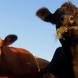 В Калужской области открыты новые семейные животноводческие фермы