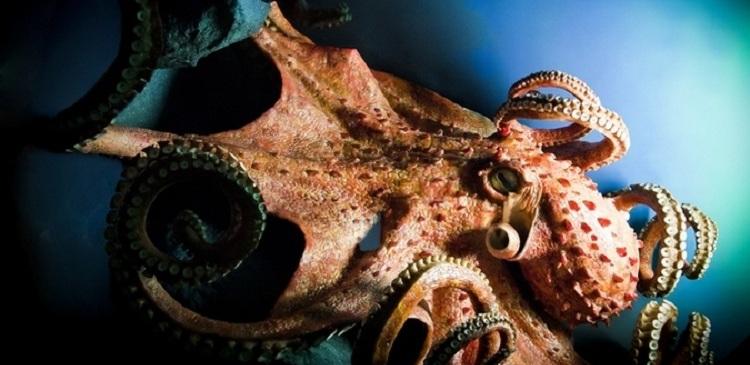В Воронежском океанариуме появился гигантский осьминог из Японии