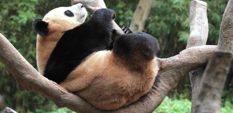 панда кнр