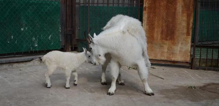 зоопарк снежные козы