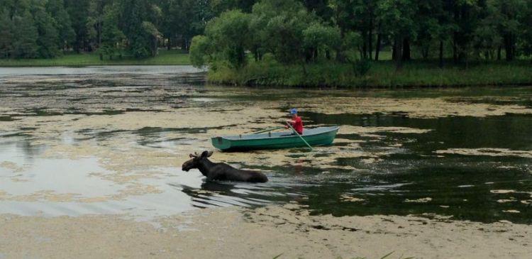 лось в пруду